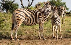 Zebra and foal (Sheldrickfalls) Tags: southafrica zebra mpumalanga plainszebra burchellszebra lydenburg zebrafoal babyzebra kuduranch kuduprivatenaturereserve kudugameranch