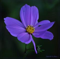 Blau * Blue * Azul * .DSC_0523-001 (maya.walti HK) Tags: flowers blue plants flores azul plantas flickr blossoms pflanzen blumen explore blau blten 2013 nikond3000 020316 copyrightbymayawaltihk explored03032016
