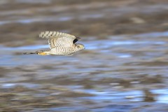 _HNS8247 Sperwer : Epervier d'Europe : Accipiter nisus : Sperber : Northern Sparrow Hawk