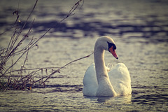 Tired Swan (der LichtKlicker) Tags: winter cold bird water river germany deutschland swan wasser fuji wave windy bow fluss baden schwan kaiserstuhl vogel breisgau elz riegel windig sdbaden bugwelle fujfilm xt1 xphotographer lichtklicker xf100400 xf100400mm