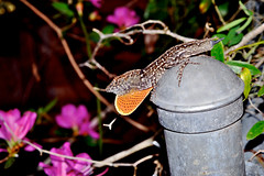 Look at that dewlap (donjuanmon) Tags: pink flowers orange brown green leaves metal silver colorful post blossoms gray tan fences lizard chain cap link anole azalea blooms dewlap hff anolissagrei fencedfriday donjuanmon