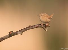 Fragile (jacobsfrank) Tags: winter bird nature nikon flickr belgie natuur sigma wren vogel belgien kalmthout winterkoninkje frankjacobs jacobsfrank nikond750