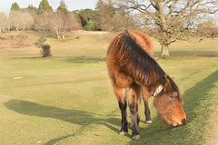 New Forest Pony (Marlytyz) Tags: uk winter eating pony newforest lateafternoon