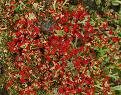 British Soldiers (Cladonia cristatella) (wackybadger) Tags: red wisconsin nikon lichen adamscounty marquettecounty britishsoldiers cladoniacristatella nikond60 wisconsinstatenaturalarea lawrencecreeksna sna70 wisconsinstatewildlifearea lawrencecreekfishwildlifearea