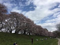 (eyawlk60) Tags: sky japan bluesky  cherryblossom  sakura
