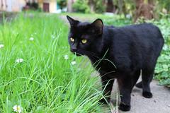 JavaScript (Cecilia Brianza) Tags: blackcat gatti javascript gattonero