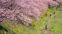 Kawazu Sakura (bamboo_sasa) Tags: pink flower japan cherry spring blossoms   sakura cherryblossoms  shizuoka izu shimoda  kawazu    minamiizu