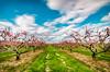 Orchard (Jacob Reid) Tags: trees blur flower tree green grass clouds season spring movement pretty seasonal orchard move row dirt bloom blooms