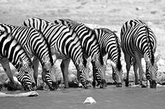 drinking zebra ~a (PicturesWild) Tags: blackandwhite monochrome etosha plainszebra burchellszebra etoshanationalpark equusquaggaburchellii pictureswild vlaktesebra