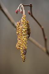 Speckled Alder Catkins (Salamanderdance) Tags: plant flower tree spring swamp flowering pollen shrub speckled alder catkins speckledalder