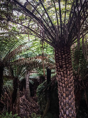 Fern Trees (stefaniesmith1) Tags: fern ancient australia tasmania ferntree mantree flindersisland