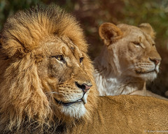 Father, Daughter (Robert Streithorst) Tags: lion cincinnatizoo simplysuperb zoosofnorthamerica robertstreithorst