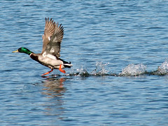 P4140052B (The Real Maverick) Tags: toronto ontario canada water highpark outdoor flight mallard waterfowl grenadierpond torontoparks olympusstylus1