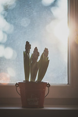 Hyacint (jancza) Tags: plant 85mm l helios hyacinthus hyacint