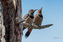 Mr and Mrs Northern Flicker (Photos_By George) Tags: bird flickers woodpeckers birds northernflickers wildlife nature canon7dmkii outdoor northernflicker 30faves 500views