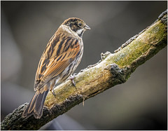 Reed Bunting (cconnor124) Tags: nature canoneos penningtonflash gardenbirds wildbirds reedbunting birdphotography backyardbirds uknature tinybirds beautifulexpression shieldofexcellence ukbirds sigma120400mmlens canon760d