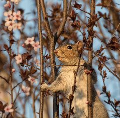 #113 - Wild & Crazy Squirrel   1Z9A3369 (DCLbyrdnyrd) Tags: grey squirrel blossoms floweringplum