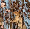 #113 - Wild & Crazy Squirrel   1Z9A3369 (DCLbyrdnyrd) Tags: grey squirrel blossoms floweringplum