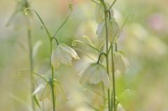 Fritillaria (snowshoe hare*) Tags: flowers flower botanicalgarden fritillaria  fritillariathunbergii fritillariaverticillatavarthunbergii   dsc0732