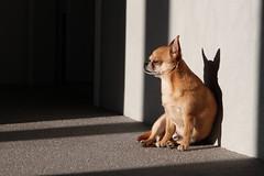 Sammy Joe von Candybell (NadineLange) Tags: dog chihuahua dogs animals canon eos hund 500d