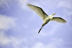 Skyward Soar (Jeff Clow) Tags: nature beauty birds flying wings texas flight feathers april soaring mothernature soar rookery greatwhiteegret 2016 beautyinnature jeffrclow