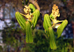 Chestnuts dance (Janina Leonaviciene) Tags: sunset tree nature angel spring fuji explore april chestnut blooms lithuania angelas lietuva 2016 pavasaris balandis gamta medis explored iedai zydejimas janinaleonaviciene finepixhs30exr