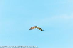_DSC4788.jpg (orig_lowolf) Tags: usa dog nature oregon nikon flickr osprey lakeoswego turkeyvulture d300s sigma150500mmf563afapodgoshsmtelephotozoom