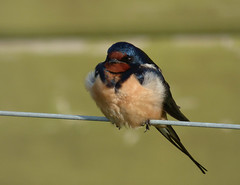 Swallow (Peanut1371) Tags: blue red white bird swallow nationalgeographicwildlife