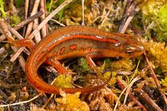 Striped Newt (Notophthalmus perstriatus) (Pierson Hill) Tags: florida amphibian salamander newt herp notophthalmus threatened stripednewt perstriatus