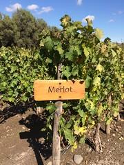 Grapes (arabelly.ascoli) Tags: chile santiago wine grapes merlot conchaytoro