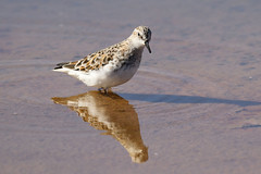 Little Stint - Calidris minuta (Roger Wasley) Tags: portugal birds faro europe european riaformosa calidrisminuta migrating migrant wader naturalpark littlestint algave