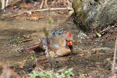 Madame cardinal au bain-18.jpg (Sylvain Bdard) Tags: montral cardinal animaux oiseau lieux jardinbotaniquedemontral