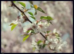 Sakura (5) (***RM***) Tags: flower tree nature beautiful beauty japan garden outside spring nikon dof cherryblossom sakura nikkor fragile d600 2470
