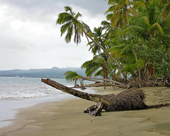 Beach Monster ?? (Oldt1mer - Keith) Tags: ocean storm tree green beach clouds view dominicanrepublic scene palm atlantic shore palmtree fallen tropical fronds bahiaprincipe riosanjuan beachmonster