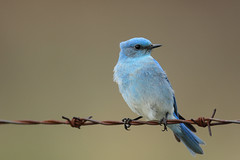 Male Bluebird (fred.colbourne) Tags: bird animal wire wildlife alberta bluebird barbed