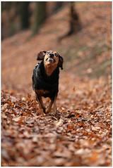 Having fun (lichtspuren) Tags: autumn forest canon eos jumping woods herbst running l f2 usm wald rennen ef 135mm lemmy 6d blackandtan springen jagdhund harehound lemmel littledoglaughedstories blackdogbrackehellenichound