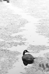 choices* (Marm O. Set) Tags: blackandwhite water monochrome canon outside pond moody ducks 7d ambience ef70300isusm