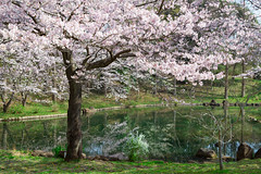 Someiyoshino cherry tree in full bloom (yumehana) Tags: park travel pink flower tree tourism nature floral up festival japan season cherry landscape outside japanese spring branch close blossom outdoor district romance historic bloom april sakura botany tidal hanami someiyoshino