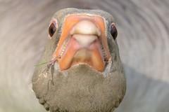 HNS_1106 Grauwe Gans : Oie cendree : Anser anser : Graugans : Greylag Goose