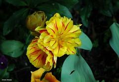 ... tulipani gialli screziati. (antosti) Tags: nikon italia d70s giallo rosso giardino padova veneto tulipani screziato