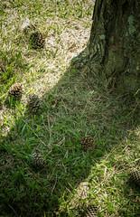 #206 of 365 - Pines (Ruadh Sionnach) Tags: camera wild naturaleza luz bronze canon outdoors ar natural natureza naturallight age vida celtic amateur celt livre pagan selvagem arlivre wildness canoncamera amateurphotographer nadur t5i canont5i