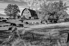 Palouse Farmstead (cloudtop2000) Tags: cows bucolic dutchbarn cardready zenready doublevent eastofrosalia foxandjohnsonrd
