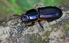 Beetle 12 (orientalizing) Tags: desktop peru beetle insects passalidae featured amazonbasin odontotaenius ahuashiyacu sanmartinprovince tarapotodistrict giantjunglebugs