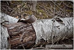 MARCH 2016  NM1_8600_011404 (Nick and Karen Munroe) Tags: trees winter ontario canada tree nature woods nikon hiking hike bark birch forests brampton birchtree heartlake whitebirch riverbirch paperbirch nickandkaren karenandnick heartlakeconservationarea munroephotography nikon2470 nikon2470f28 munroedesignsphotography munroedesigns karenick karenick23 nickmunroe nikond750 nickandkarenmunroe karenandnickmunroe