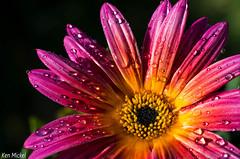 African Daisy (Ken Mickel) Tags: flowers plants flower nature colors rain gardens closeup garden photography dewdrops flora waterdrop blossom blossoms dewdrop daisy waterdrops africandaisy upclose