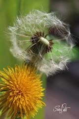 make a wish (fotoschwester13- on/off :-S.) Tags: ngc gelb npc 52wochenfotochallenge