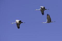 Sandhill Crane (Kelly Colgan Azar) Tags: usa march nebraska migration sandhillcranes grandisland gruscanadensis