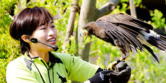 Female Harris Hawk, Akari and Bird Master Girl :  (Dakiny) Tags: show park street city people woman bird nature girl animal japan female zoo spring nikon outdoor hawk raptor april yokohama tamron kanagawa birdofprey akari birdshow 2016 harrishawk zoorasia a005 yokohamazoologicalgardens d7000 nikonclubit modela005 sp70300mmf456divcusd asahiward