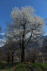 avril (bulbocode909) Tags: nature suisse vert bleu arbres printemps valais montagnes fruitiers