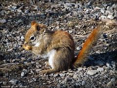 * Snacking * (army-brat) Tags: wild lake ottawa chipmunk wildanimal wilderness snacking mudlake